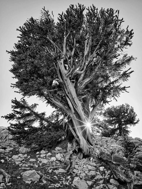 TIME OF DAY, sunset, WORLD REGIONS & COUNTRIES, North America, United States of America, California, Eastern Sierra Mountains, Ancient Bristlecone Pine Forest, plants, tree