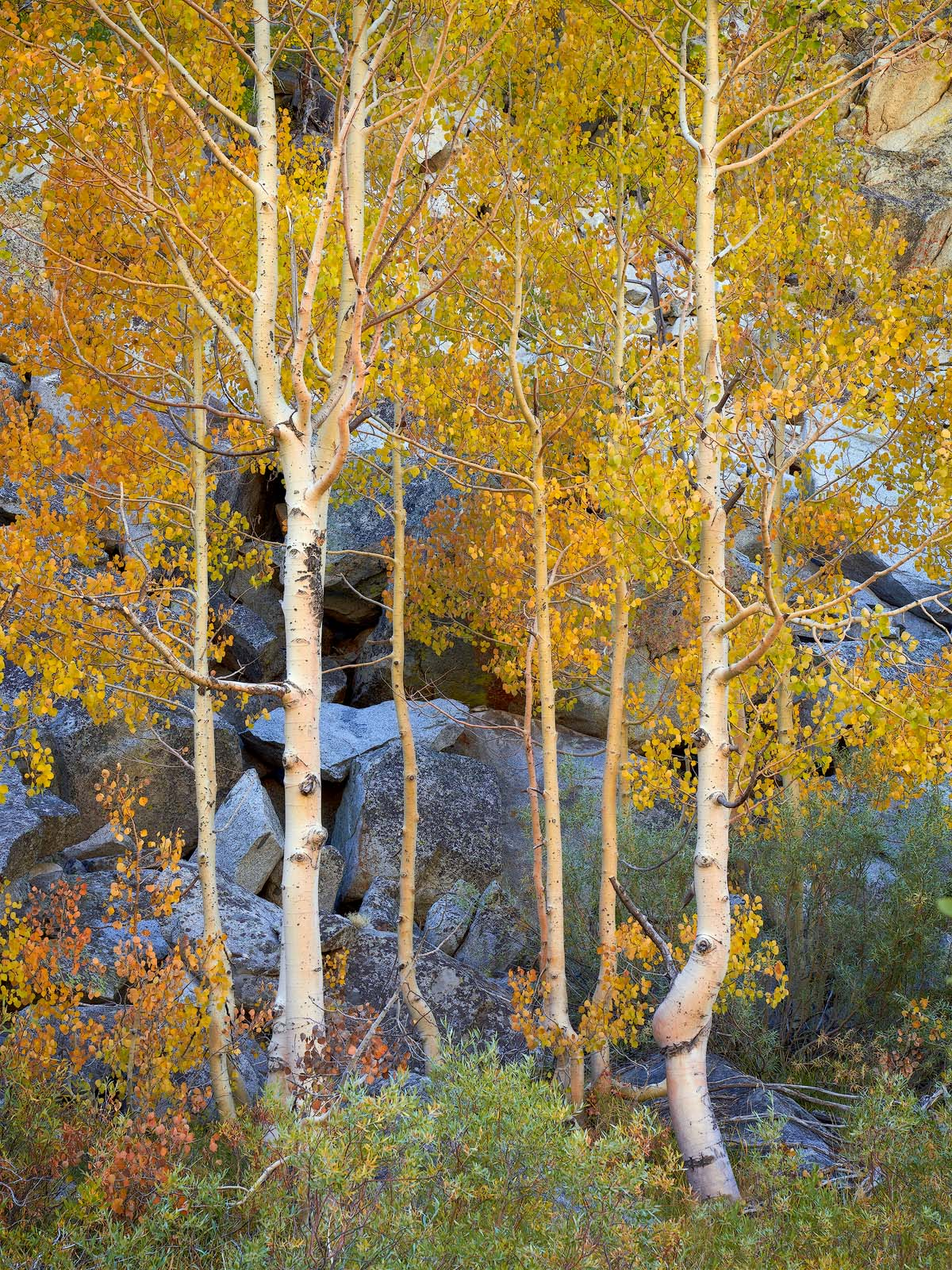 plants, tree, deciduous, aspens, WORLD REGIONS & COUNTRIES, North America, United States of America, California, Eastern Sierra Mountains, photo