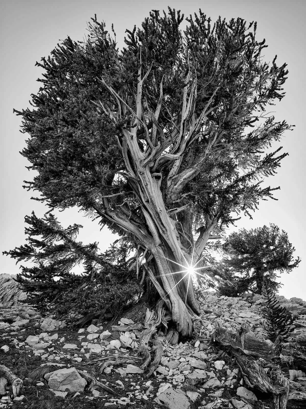 TIME OF DAY, sunset, WORLD REGIONS & COUNTRIES, North America, United States of America, California, Eastern Sierra Mountains, Ancient Bristlecone Pine Forest, plants, tree, photo